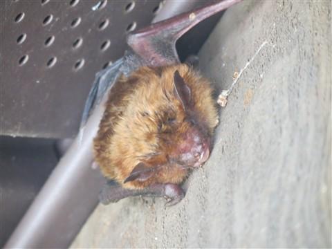 bat under eaves