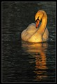 Swan in Golden Light
