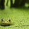 frog in the duckweed
