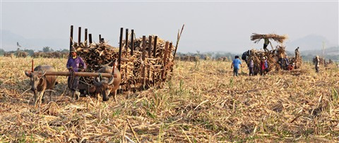 Sugar cane is still all cut by hand in Java in 2012 and in many areas brought out of the fileds by oxen