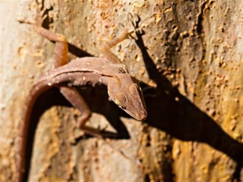 Lizard1080105