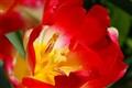 tulip1000