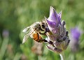 On the lavender flower