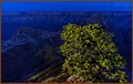 Blue Hour Pinyon Portrait