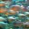 Piranha-Taiwan