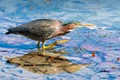 A Green Heron on the prowl for food in shallow water.