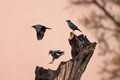 african blue starlings in the evening light