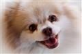 Rosie-Pomeranian