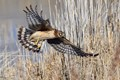 Female Northern harrier (Circus hudsonius)