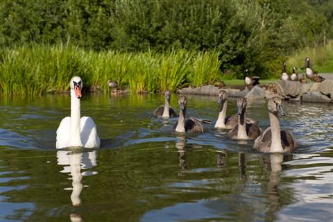 Swan_Family