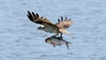 Osprey With Fish Take Out