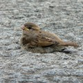 House Sparrow in Austria