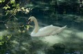 White swan in black lake