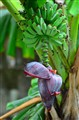 Puso Ng Saging (Banana's Heart)