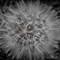dandelion12013-2