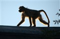 Baboon on the Roof