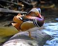 WOOD DUCK RESTING
