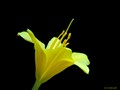 Yellowest Lily