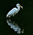 -----the GREAT EGRET-----