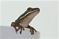 Tea cup frog