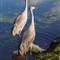 Sandhill Cranes - MRW60117 - edited