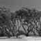 B&W Bent trees