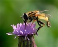 Striped Hoverfly feeding on a Thistle flower