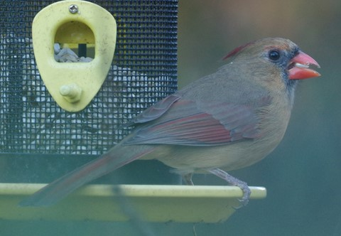 Female Cardinal Eating Facing Away 1
