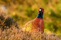 The pheasant is native to Asia and parts of Europe like the northern foothills of the Caucasus and the Balkans. It has been widely introduced elsewhere as a game bird, this one was shot (sic!) on a small island in the northern sea, wangerooge. It is the state-bird of South Dakota.