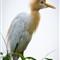 Egrets 2 web