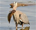 Blue Heron & Trophy Sculpin