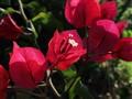 bright red bougainvillea