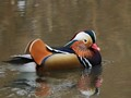 A rare sighting of one of a pair of Mandarin Ducks in Witham, UK