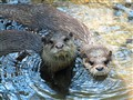 Hana & DJ-Asian Small Clawed Otters