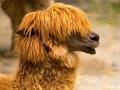 Llama with a hairstyle