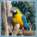 Papagayo azul