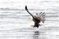 Hungry Eagle