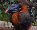 Rufous Hornbill