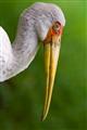 Stork Upclose