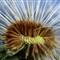Dandelion light macro