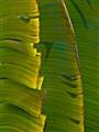Ed Banana Leaf