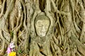 Buddha head nested in ficus roots