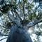 2015-10-30 New Zealand Te Araroa 1608 Whananaki Kauri Canopy