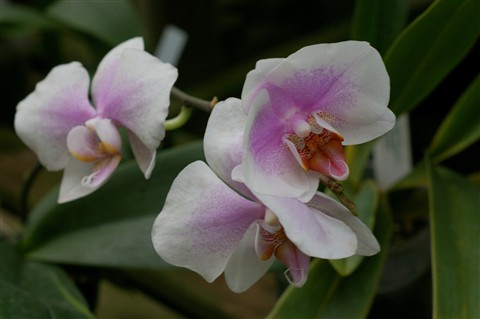~ Orchid Serenity