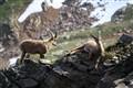 Rock Goats