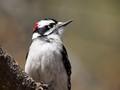 Downey Woodpecker, Burlington Ontario