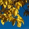 Golden-Leaves_web