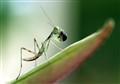 Praying-Mantis-Dinner