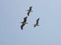 Flight of three big birds