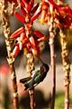 Humming Bird at a Bloom